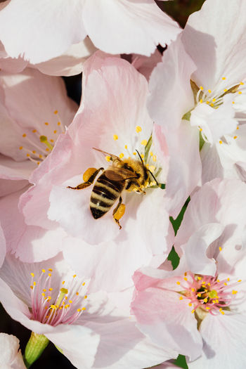 Close up of a bee pollinating cherry tree flowers Cherry Animal Animal Themes Animals In The Wild Beauty In Nature Bee Close-up Flower Flower Head Flowering Plant Fragility Freshness Growth Insect Outdoors Petal Plant Pollen Pollination Pollinator Springtime Vulnerability