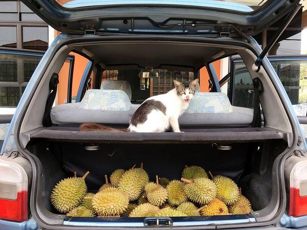 Cat Durian Animal Themes Animal Vertebrate Mammal One Animal Domestic Summer Road Tripping Transportation Pets Car Food EyeEmNewHere