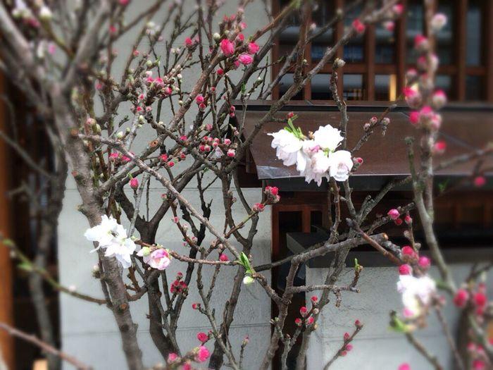 Kyoto,japan Kyoto Spling Kyoto Prunus Mume Japanese Apricot Prunus Mume Ume Red And White Ume Kouhakubai Japanese Luxury Flowers Lucky Ume Bloom In Two Colors Kyoto Street Flower
