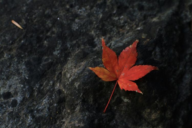 High angle view of maple leaf on rock
