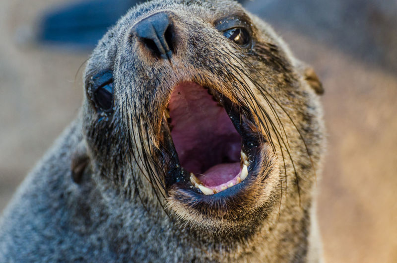 Close-up portrait of brown fur seal at cape cross seal reserve, namibia