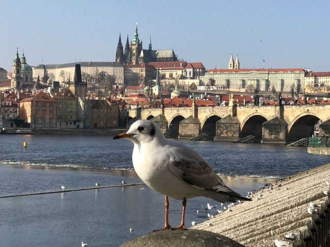 The Prague Castle Hradschin with Vltava AMP PICTURES Architecture Animal Themes One Animal Built Structure Building Exterior Bird Seagull Water Animals In The Wild River Day Outdoors Clear Sky Animal Wildlife Bridge - Man Made Structure No People Perching City Nature