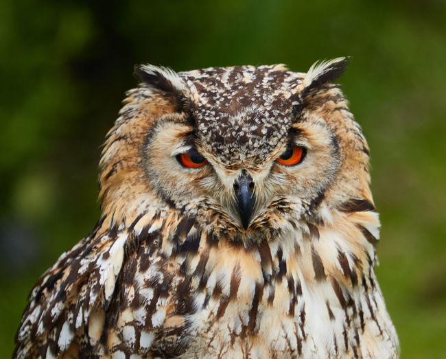 Eagle owl portrait in holland