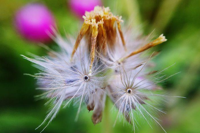 Beaytifulview IPhone Macro Flower Naturelovers Nature Macro Nature Photography IPhoneography Grassflower Dry Flower  Drygrass