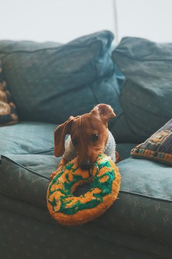 Fefo Dog Pets One Animal Domestic Animals Mammal Animal Themes Sofa Looking At Camera Indoors  Sitting Portrait Home Interior Puppy Relaxation No People Day Beagle