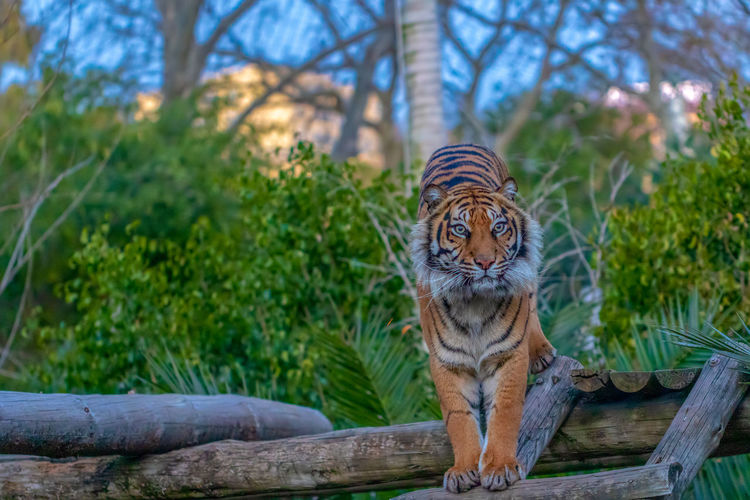 Mammal One Animal Animal Themes Feline Animal Cat Big Cat Tree Plant Vertebrate No People Focus On Foreground Tiger Day Animal Wildlife Zoo Animals In The Wild Wood - Material Carnivora Nature Outdoors Whisker