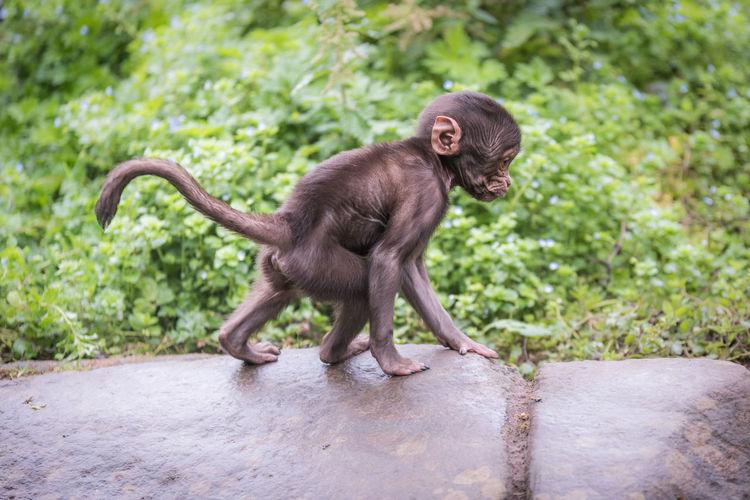 A male infant Gelada Baboon (or bleeding-heart monkey). Baby Endangered Species Exploring Learning Nature Theropithecus Gelada Bleeding-heart Monkey Gelada Gelada Baboon Infant Juvenile Monkey Old World Monkey Primate Wildlife