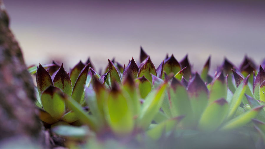 Full Frame Beauty In Nature EyeEm Nature Lover Close-up Nature Natural Pattern Purple Green Color Flowering Plant Selective Focus No People Succulent Plant Botany Serrated