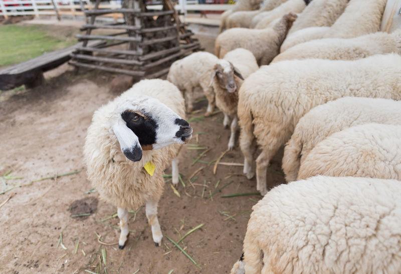 Farm Masses Sheep