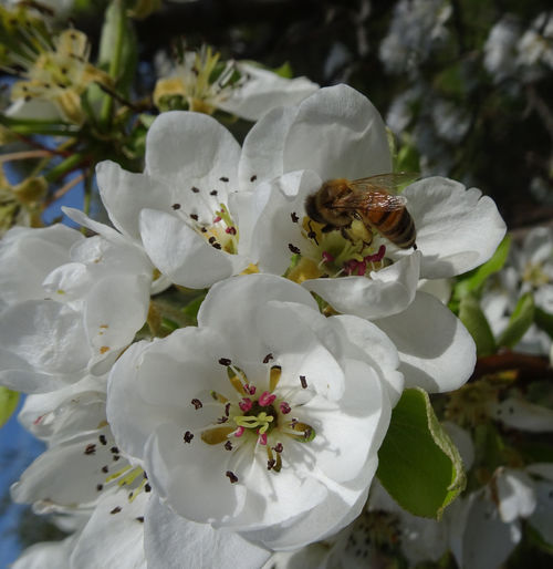 Apple Flower Beauty In Nature Bee Competition On Food Flower Flowering Plant Foraging Fragility Insect Plant Pollination Springtime White Color