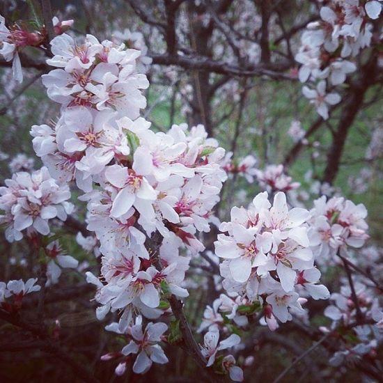 Вишня весна красноярск Крск татышев Ciliegia Primavera Krasnoyarsk Krsk