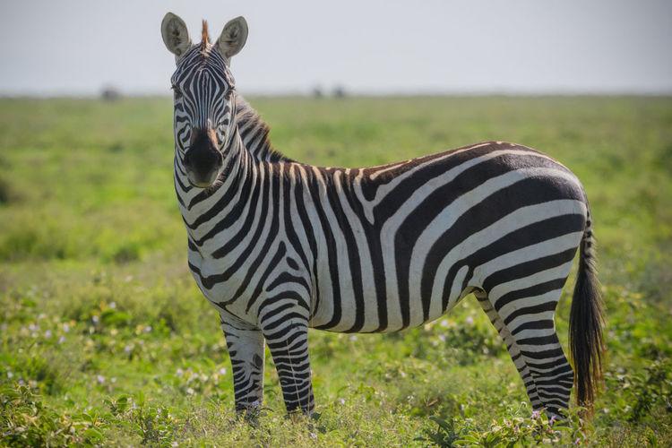 Lone zebra in