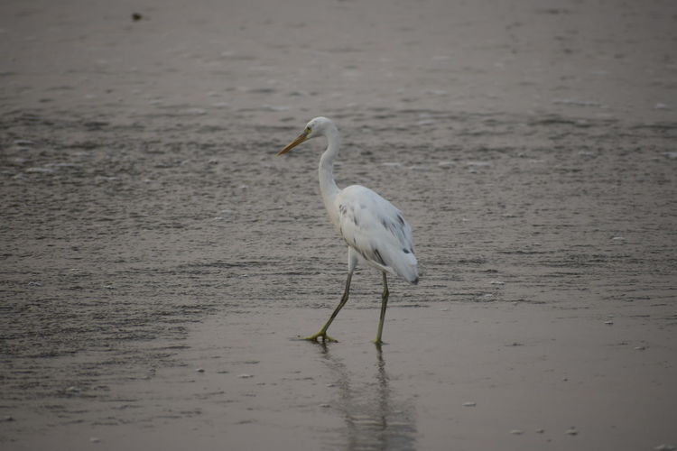 Nikon NIKOND53000 Animal Themes One Animal Bird Water White Color No People Day Beach Water Bird Nature Selective Focus Land