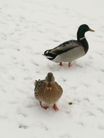 Bird Winter Snow Animal Themes Animal Animal Wildlife Cold Temperature No People Archival Animals In The Wild Nature Outdoors Snow ❄ Winter Snowing Water Bird Ducks Beauty In Nature Nature Ice
