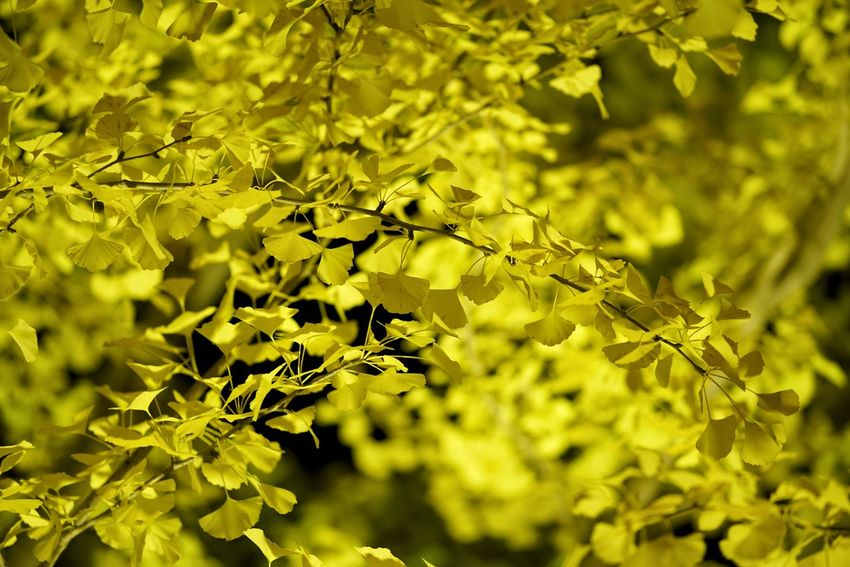 Capture The Moment Ginkgo Leaf Autumn Colors Night Lights Shine Bright Beauty In Nature Photography Themes Nature Tranquility Fine Art Photography Light And Shadow Getting Inspired Depth Of Field Uzuki Of The Flower Backgrounds Yellow Color Darkness And Light Close-up Leaf Full Frame Detail Sony A7RII Sigma EyeEm Best Shots 17_10 EyeEmNewHere