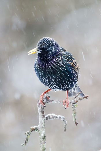 Starling in a snow shower, UK Sturnus Vulgaris Animal Animal Themes Animal Wildlife Animals In The Wild Bird Close-up Day Focus On Foreground Full Length Lake Motion Nature No People One Animal Outdoors Perching Reflection Snow Starling Vertebrate Water