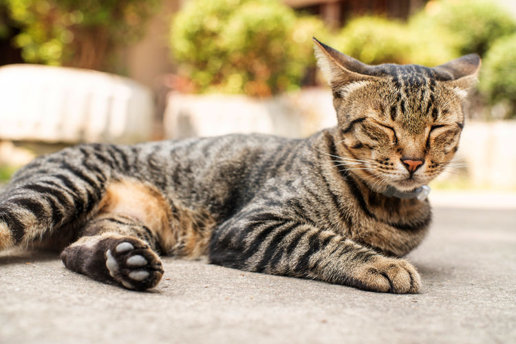 Animal Animal Themes Cat Close-up Domestic Domestic Animals Domestic Cat Feline Focus On Foreground Looking At Camera Lying Down Mammal Napping No People One Animal Pets Portrait Relaxation Resting Tabby Vertebrate Whisker