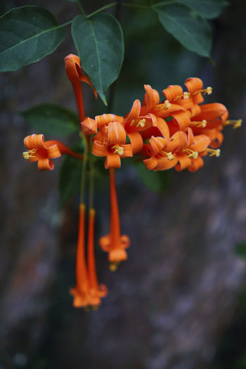 Flower Plant Petal Beauty In Nature No People Freshness Close-up Orange Trumpet Flowers Fire Cracker Vine Orange Flower