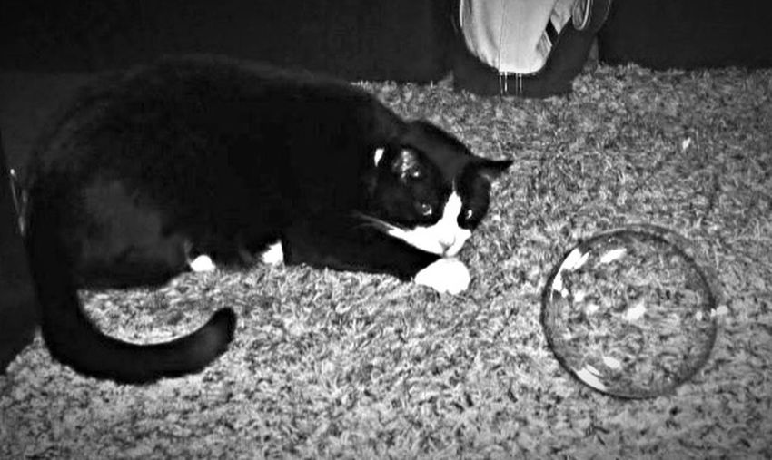 Blackandwhite Cat Tuxedocat Feline Pets Playing With The Animals Catnip Bubbles Are Fun