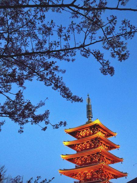 Japan Asakusa Tokyo Cherry Blossoms