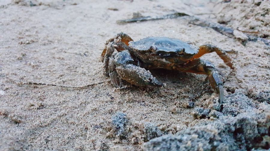 Crab Sand Beach One Animal Animals In The Wild No People Outdoors Sea Life Italy