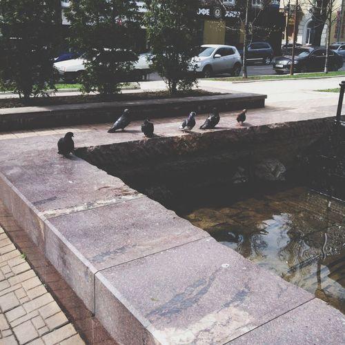 Fountain Pigeons City Birds