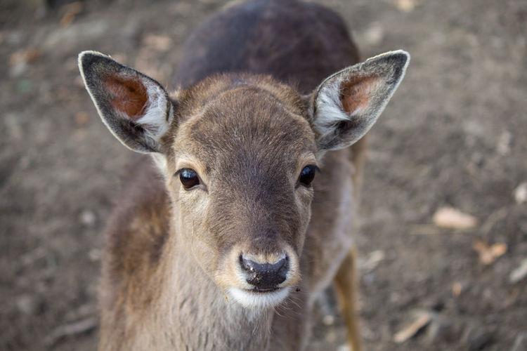Deer Doe Bambi