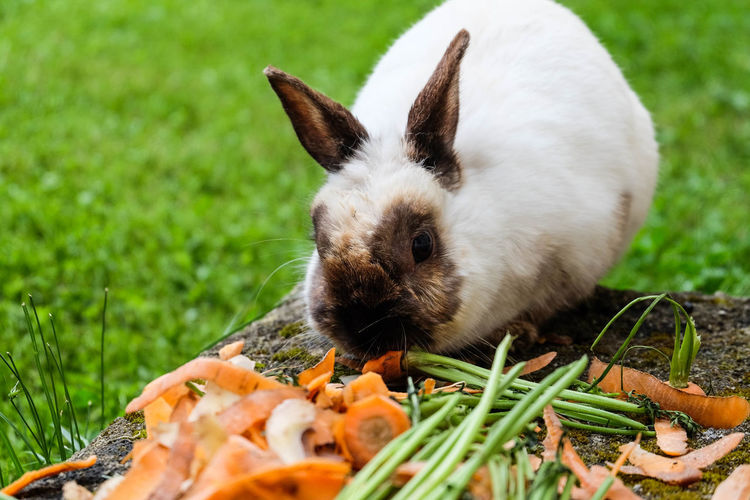 Close-up of rabbit eating carrots