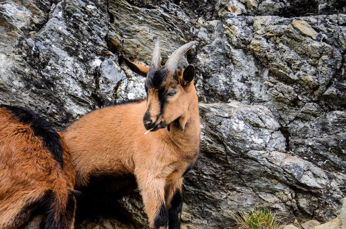 Chamois Animal Themes Animals In The Wild Chamois Close-up Day Domestic Animals Livestock Mammal Nature No People One Animal Outdoors Rock - Object Standing