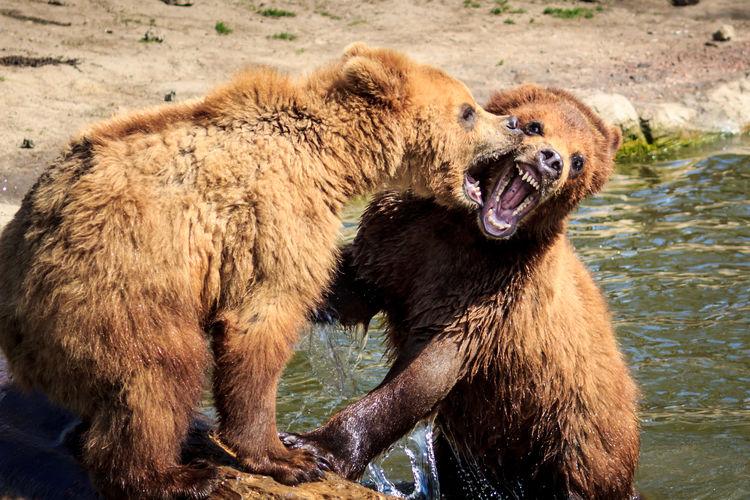 Bären Bear Animal Themes Animals In The Wild Animals In The Wild Animal Wildlife Naturephotography Nature_collection Nature Photography Tiere Tiere/Animals Water Safari Animals Close-up Grizzly Bear Bear