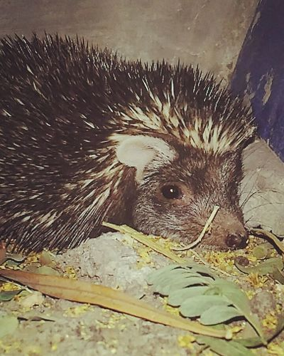 One Animal Hedgehog Mammal Animal Themes Domestic Animals Pets No People Indoors  Day First Eyeem Photo Gujarat Indian Vaction Close-up Statue Animal