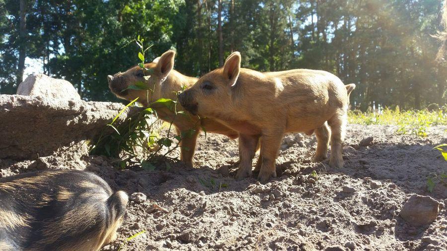 Ferkel Schwein Natur Nature Animal Tree Shadow Sunlight Animal Themes Young Animal Piglet Pig Animal Family