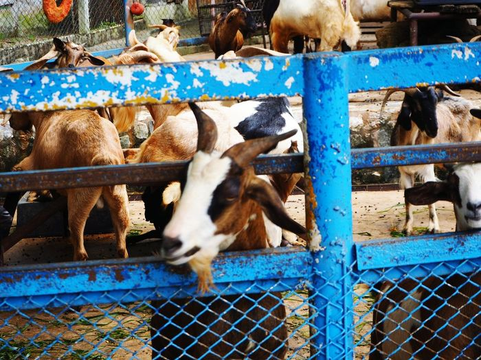 EyeEm Selects Domestic Animals Livestock Animal Themes Mammal Chainlink Fence Animal Pen Protection Animal Outdoors No People Agriculture Trapped Sheep Cage Grazing Day Large Group Of Animals Togetherness Nature Confined Space