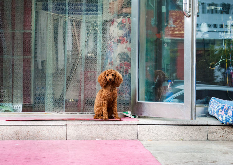 Very sad dog Chinese Dog  Animal Animal Themes Building Exterior Canine Curtain Day Dog Domestic Domestic Animals Glass Glass - Material Looking Mammal No People One Animal Pets Reflection Retail Display Sitting Transparent Vertebrate Window