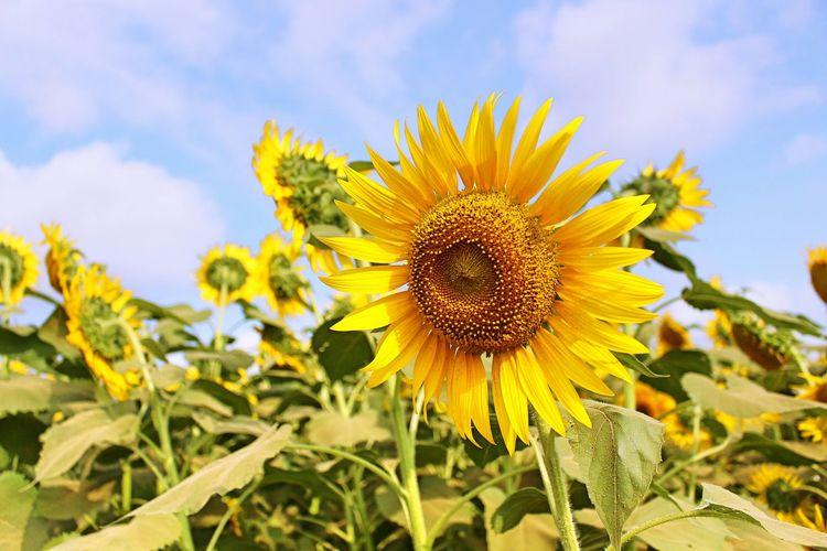 ひまわり畑 Narita ゆめ牧場 I Love Summer Sunny☀ Japan Sunflower
