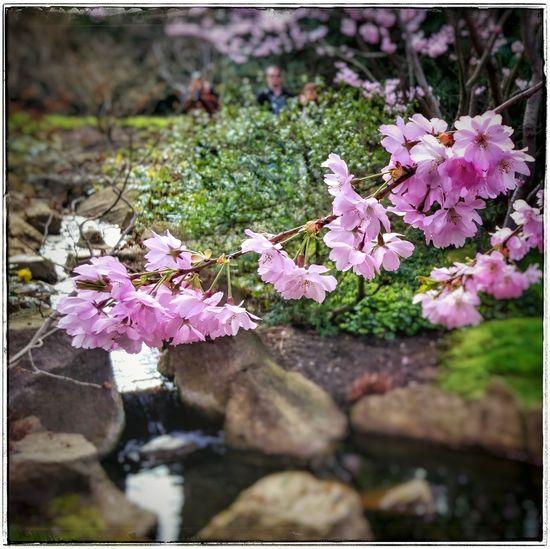 Unterwegs in den Gärten Der Welt Japanischergarten Japanese Garden Springtime Cherryblossom Kirschblüten  PrettyInPink