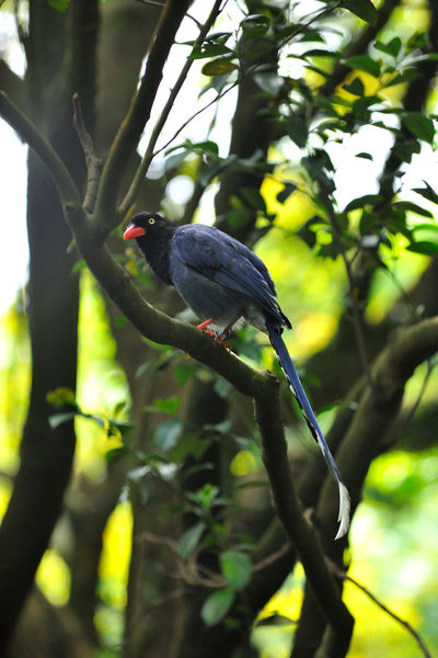 Taiwan blue magpie blue bird is Taiwan's unique birds Attention Especially Taiwan Taiwan Blue Magpie Animal Themes Animal Wildlife Animals In The Wild Beauty In Nature Bird Branch Close-up Day Focus On Foreground Full Length Growth Low Angle View Nature No People Observed One Animal Outdoors Perching Stay Tree Wait And See