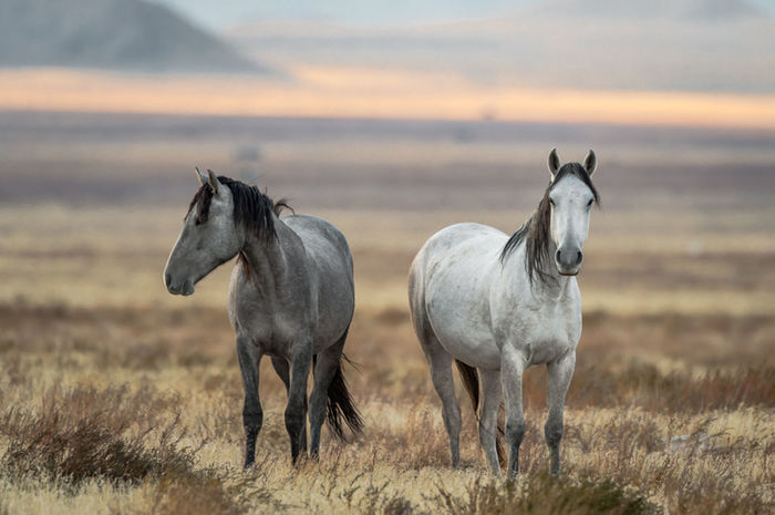 Wild ones. Documentaryphotography Fineartphotography Eye4photography  Art Art Gallery Visual Poetry Wildlife Photography Nature Photography Wildlife & Nature Nikond4s Wildlife Wildhorses Horses