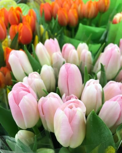 Tulips mean spring is near🌷 Freshness Flower Flowering Plant Beauty In Nature Vulnerability  Fragility Plant Close-up Tulip Petal No People Inflorescence Flower Head Growth Nature Leaf Plant Part Full Frame Abundance Pink Color
