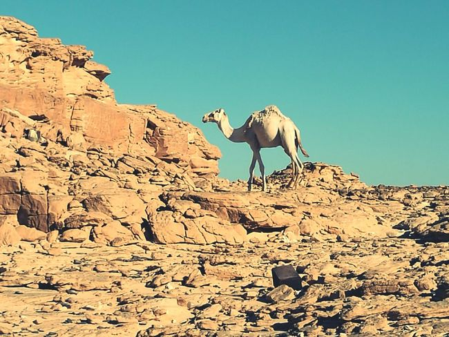 Sinai Desert Egypt White Camel Nature Animals