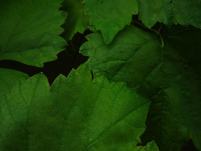 green leaf Leaf Green Leafs Green Leaf, Fresh And Beautiful Green Taking Photos Colorful Enjoying Life Huawei P9 Plus Huaweiphotography Thailand Thai Mobliephotography Smart Phone Photography