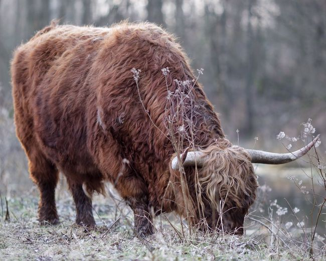 Full length of a bison