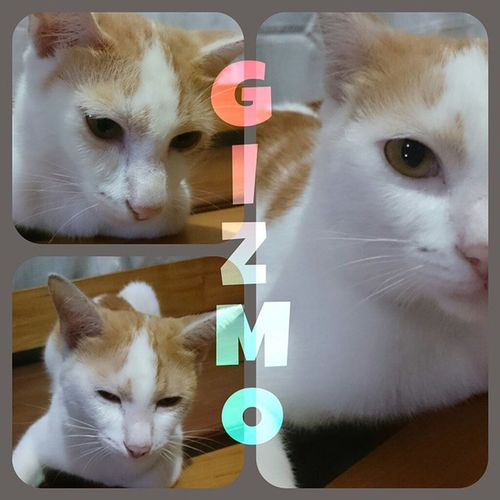 My Prince Gizmo! Sweetestcat Kulit FelineDomesticus 3stooges Americanbobtail Tabby