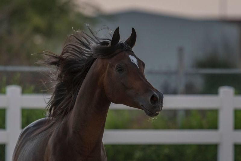 Arabian horse 🐎 Animal Animal Themes Animal Wildlife Mammal Domestic Animals Domestic Livestock One Animal Horse Animal Body Part Animal Head  Brown