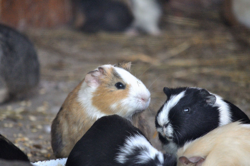Animal Animal Themes Cute Group Of Animals Guinea Pigs Mammal No People Two Animals
