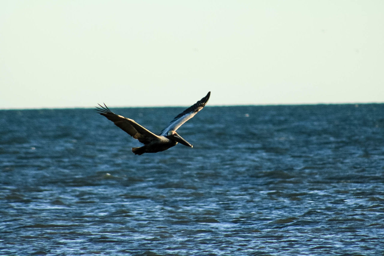 sea, one animal, nature, water, animal themes, flying, animals in the wild, waterfront, spread wings, horizon over water, beauty in nature, clear sky, mid-air, outdoors, animal wildlife, day, no people, bird, sky, motion, scenics
