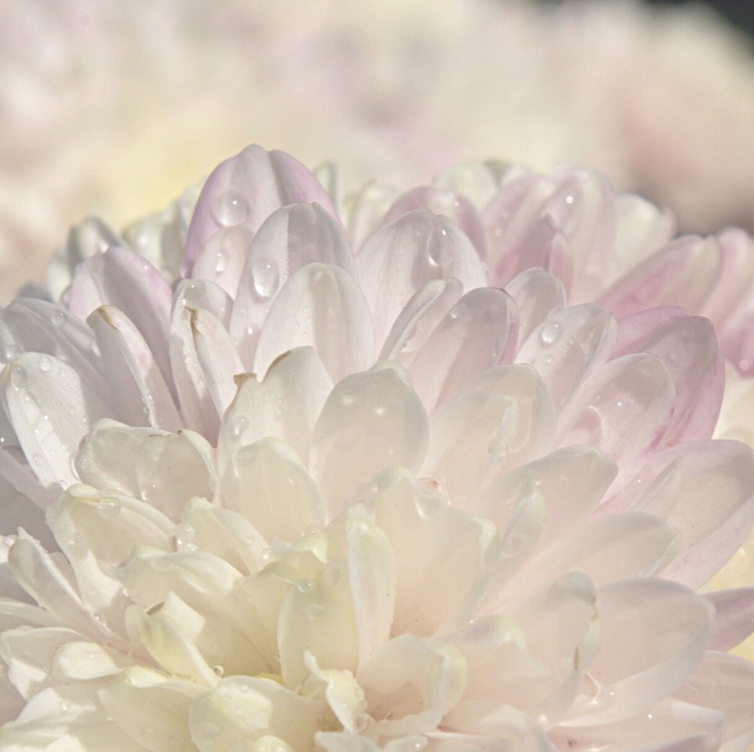 flower, petal, freshness, fragility, flower head, close-up, beauty in nature, nature, growth, single flower, blooming, focus on foreground, pink color, macro, selective focus, white color, full frame, plant, natural pattern, backgrounds