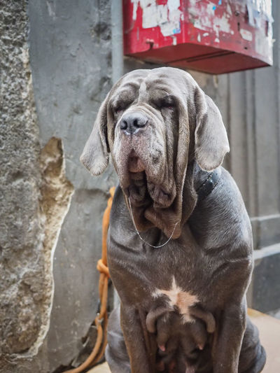 Close-up of neapolitan mastiff against wall