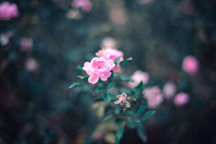 EyeEm Selects Flower Flowering Plant Freshness Pink Color Plant Beauty In Nature Petal Vulnerability  Fragility Inflorescence Flower Head Close-up Nature No People Outdoors Growth Focus On Foreground Rosé Day Rose - Flower