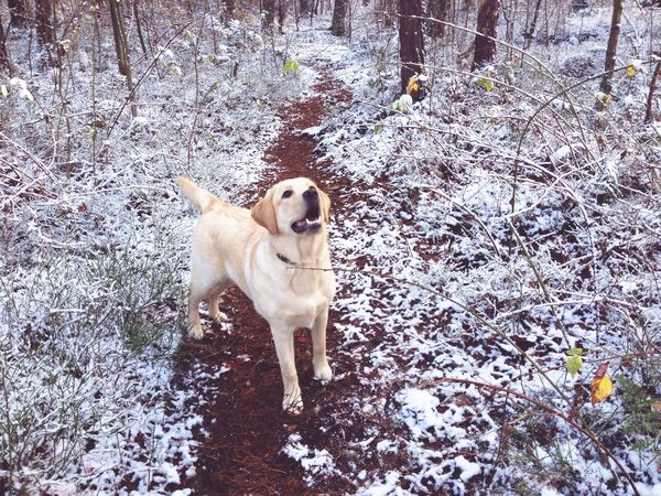 Bestfriend Cutedogs Dog Forest Path Forestwalk Inthewoods Cutedog Cute Pets Cute Labrador Retriever Labrador Dog❤ Dogs Dog Love Doglover Fun Forest Snow Birch Tree Snow ❄